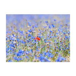 Fotótapéta - A sky-színű rét - búzavirág